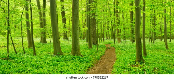 Hiking Path trough Forest of Beech Trees in Early Spring, Wood Garlic in Bloom