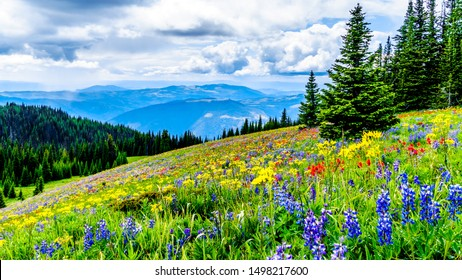 Hiking through the alpine meadows filled with abundant wildflowers. On Tod Mountain at the alpine village of Sun Peaks in the Shuswap Highlands of the Okanagen region in British Columbia, Canada