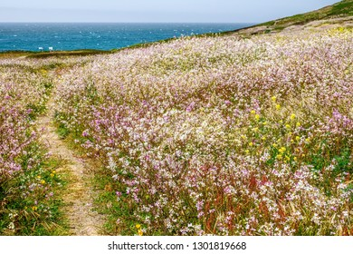 Hiking trail across coastal meadow full of wildflowers near picnic tables and interpretive signs in Bodega Head, Sonoma County, northern California, USA, in spring
