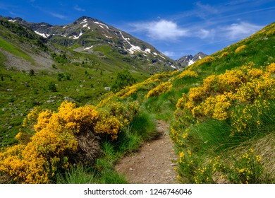 Hiking trail in broom with flowers in the french Pyrenees moutains, Ariege