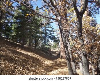 Hiking trail leading through black oaks and pines, California