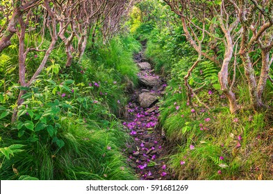 Hiking trail, rhododendron shed, Roan Mountain Tennessee