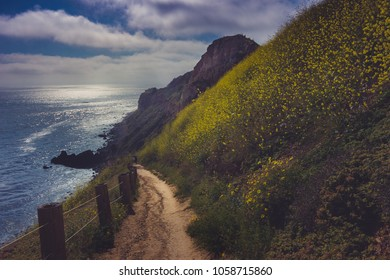 Hiking trail surrounded by beautiful yellow wildflowers with beach view during the California Super Bloom of 2017, Rancho Palos Verdes, California
