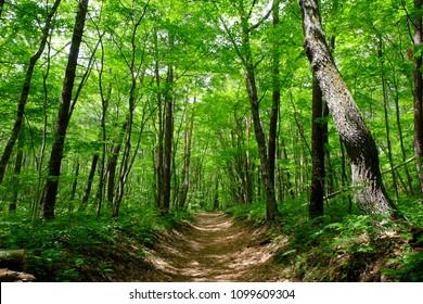 Hiking trail surrounded by fresh green. Shinanoji Nature Hiking Trail, Karuizawa, Nagano, Japan.