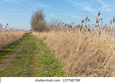 Hiking trail through canebrakes of Dutch National Park Oostvaardersplassen