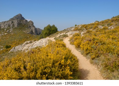 Hiking trail through flowering gorse and rock roses, on the Sierra Bernia, Alicante Province, Comunidad Valenciana, Spain