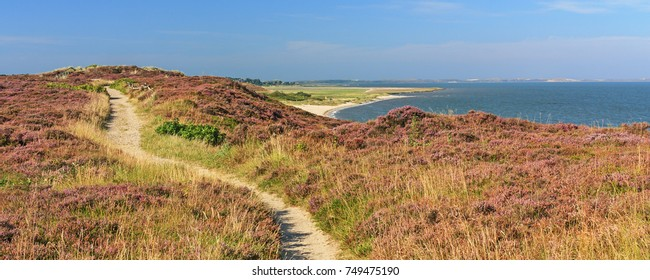 Hiking trail through flowering heathland (Braderuper Heide) on the island Sylt in the North Sea, Schleswig-Holstein, Germany