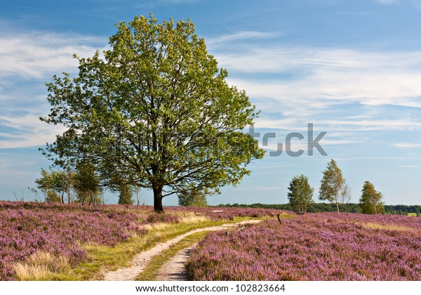 Hiking trail through heathland with flowering common heather (Calluna vulgaris) in bloom and an oak in the Lueneburg Heath (Lueneburger Heide) in Lower Saxony, Germany