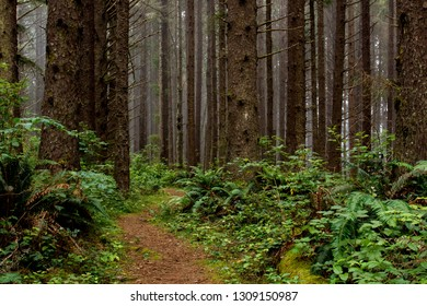 Hiking trail through a mossy  sitka spruce (Picea sitchensis) fo