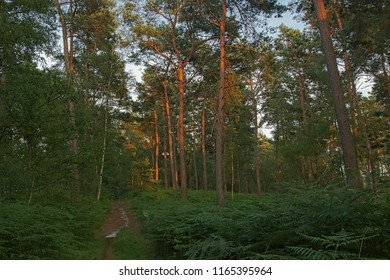 Hiking trail through a pine forest in evening sunlight in Ermonville, Oise, France
