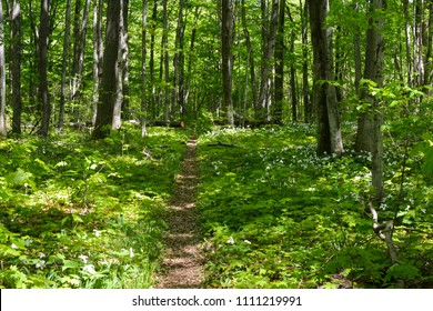 Hiking trail through the woods on North Manitou Island in Northern Michigan