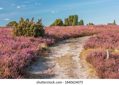 Hiking trail trough flowering heathland in bloom with juniper in the Lüneburg Heath, Lower Saxony, Germany. Summer landscape.