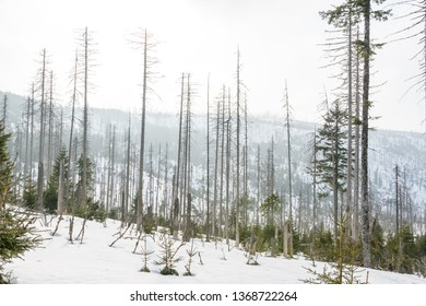 Hiking trail under snow in Sumava mountains during late winter. Panoramatic view, damaged trees.