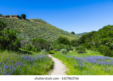 A hiking trail winds through a green, grassy meadow with lupine wildflowers - Toro County Park near Monterey, California