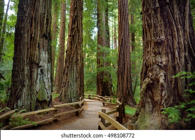 Hiking trails through giant redwoods in Muir forest near San Francisco, California, USA