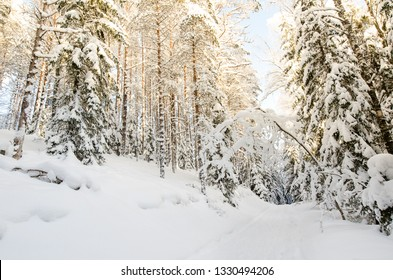 Hiking trails through the winter forest. Beautiful winter landscape with plenty of snow in the sunshine. Snow covered pine tree trunks in pine forest as background.