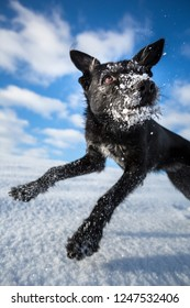 Hilarious black dog jumping for joy over a snowy field on a lovely winter day