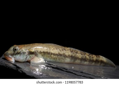 Hildebrand's goby (Sicydium hildebrandi) sucker fish from Dagua River basin, Colombia