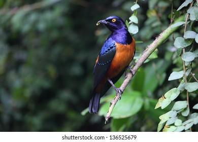 Hildebrandt's Starling (Lamprotornis hildebrandti)