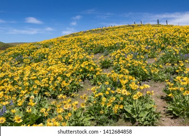 Hill of blooming balsamroot, Dalles Mountain Ranch in the Columbia Hills, Washington