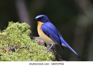 Hill Blue Flycatcher bird