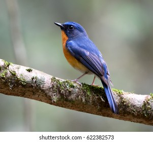 Hill Blue Flycatcher, a colorful bird, perched on big tree branch in Khaoyai national park Thailand. Portrait wild animal in natural habitat on sunny day of spring season with nature green background.
