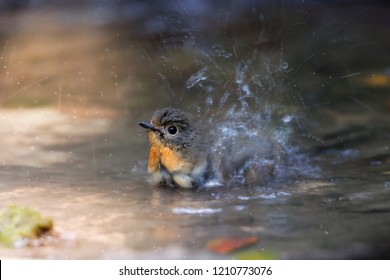 Hill blue flycatcher (Cyornis banyumas), female bird bathing and splashing in freshwater lake, resident bird of Thailand. Hill blue flycatcher bathing