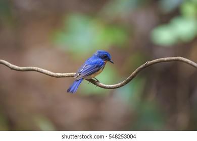 Hill Blue Flycatcher(Cyornis banyumas), beautiful blue bird.