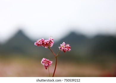Hill of buckwheat flowers at sunny day in Ha Giang, Vietnam