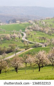 A hill full of blooming cherry trees with white flower blossom in spring season