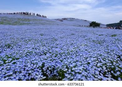 Hill of nemophila (baby blue eyes) at Hitachi Seaside Park, Hitachinaka, Ibaraki, Japan