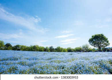 Hill of Nemophila flowers (Baby blue eyes flowers).