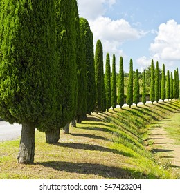 Hill of Tuscany with Vineyards and Cypress Alley