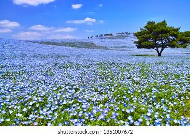 Hill where nemophila blooms in full bloom