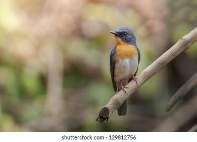Hill-blued Flycatcher on branch, thailand