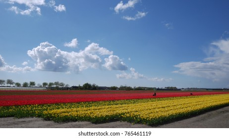 HILLEGOM, THE NETHERLANDS - APRIL 18, 2017: Tulip fields of the Bollenstreek, South Holland, Netherlands