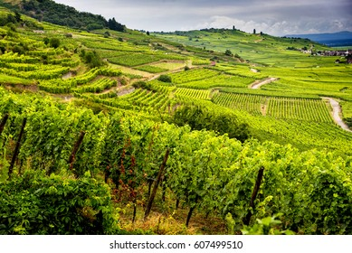 Hills covered with vineyards in the wine region of Alsace, France