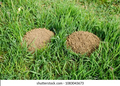 The hills of the earth are dug up in moles. Mole in the clearing