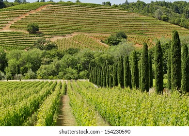 Hills with grape vines planted in rows
