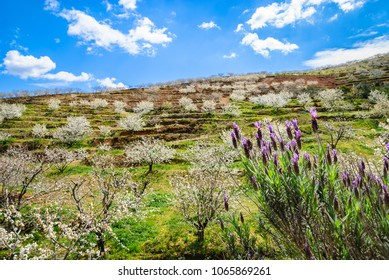 Hillside with cherry trees and lavander flowers