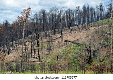 A hillside covered in snags after a wild forest fire roared through leaving nothing but char and ash in its path along with the dangerous dead tree snags that will eventually fall.
