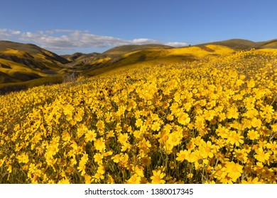 Hillside Daisy blooming over the hills of Carrizo Plain National Monument, CA