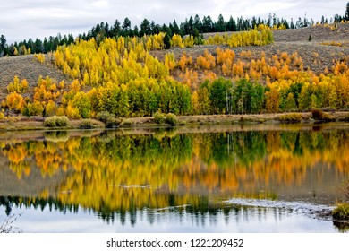 Hillside of golden aspen trees in the Grand Tetons.