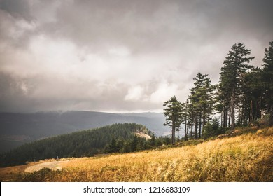 Hillside with golden grass and a forest further down in cloudy weather