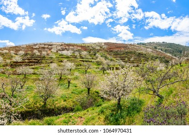 Hillside of a mountain with cherry trees