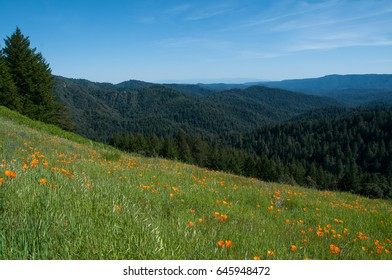 Hillside of poppies overlooking view of redwood tree covered mountains