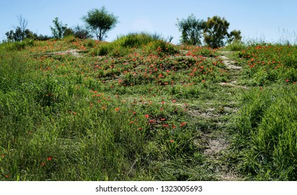 a hillside in the ruhama forest in israel covered with red crown anemones and spring grasses with trees in the background