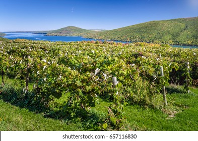 Hillside Vineyard with a Beautiful Lake in Background on a Sunny Early Autumn Day. Fingers Lakes, Upstate New York.