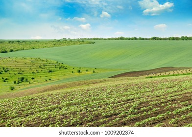 Hilly green field and blue sky. Agricultural landscape.