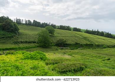 Hilly landscape of Cha Gorreana tea plantation, Sao Miguel, Azores, Portugal